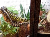 Kingsnake.com - Herpforum - RE: jungle carpet adult cage