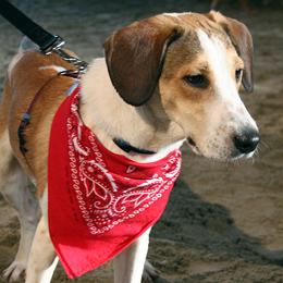 Daniel the Beagle, who inspired 'Daniel's Law'