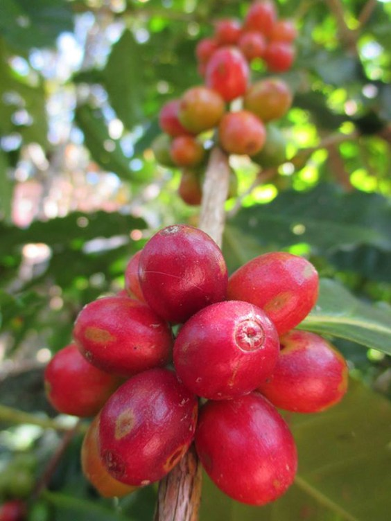 Coffee Cherries in Nepal