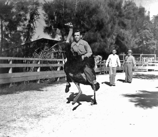 Ostrich race in Florida