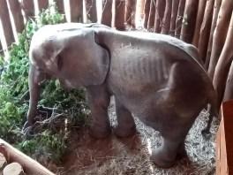 Kleiner                                                     abgemagerter                                                     Elefant