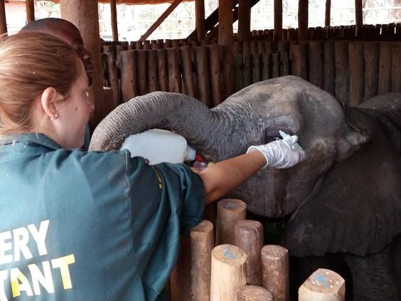 Elefantenwaise                                                     bei der Fütterung