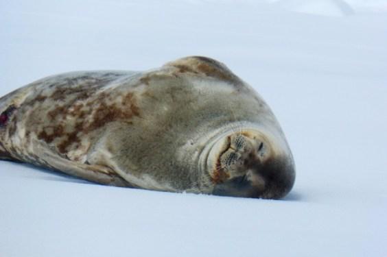 Robbe in der Antarktis
