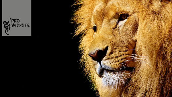 Löwen im Zirkus