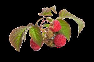 Raspberries for Summer Health