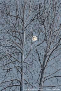 Sycamore Moon