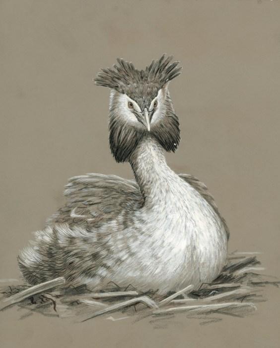 original wildlife painting grebe