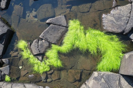 Bright green seaweed