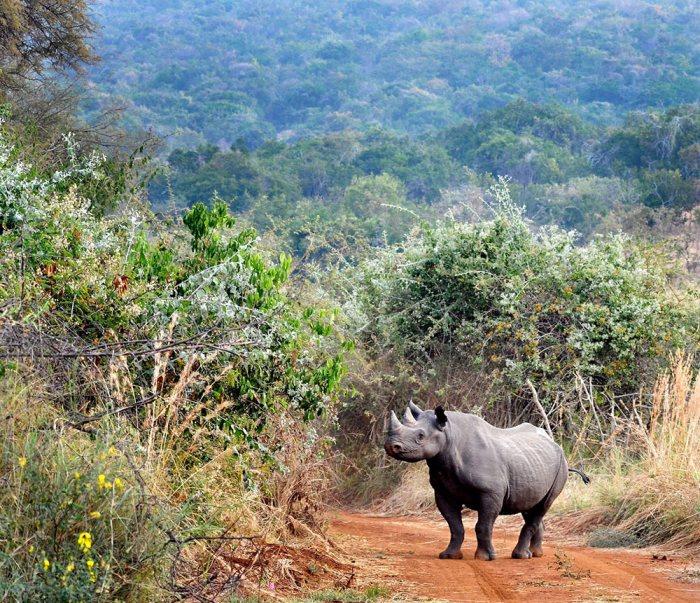 Rhinos to Rwanda