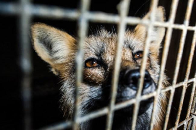 Shocking suffering revealed on Canadian mink fur farm.