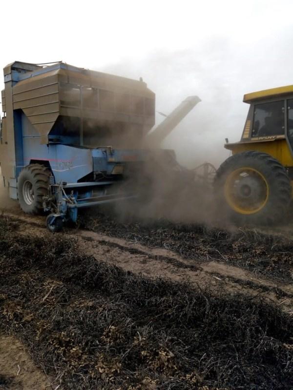Peanut harvest in Argentina