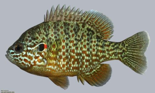 A pumpkinseed sunfish facing left on a white background, taken in a photo tank.