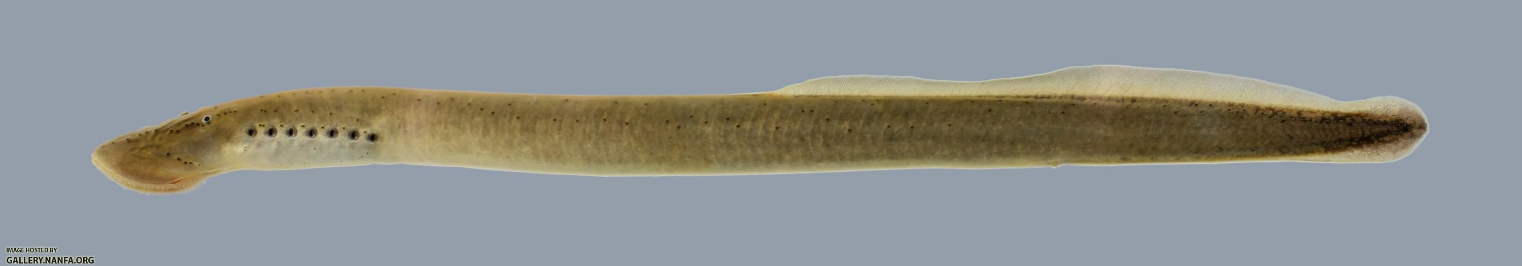 A Surfeit of Lampreys - Friday Fishes