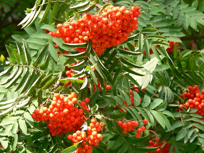 Image result for sorbus aucuparia