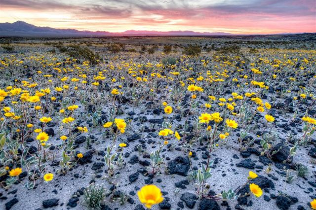 Desert wildflowers cover the ground around the Amboy Crater in the Mojave Trails National Monument on March 15 in Twentynine Palms, California during yearly bloom.