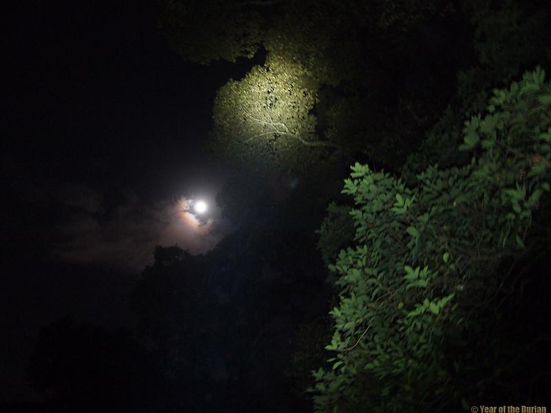 moon singapore durian tree