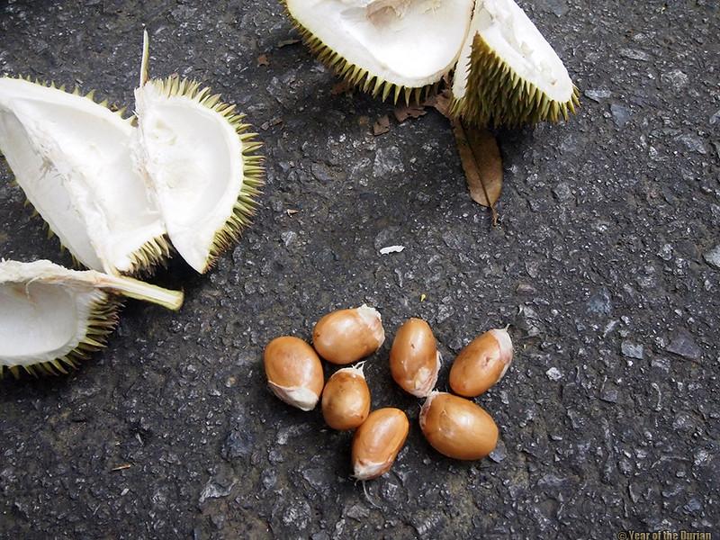 wild durian on Pulau Ubin