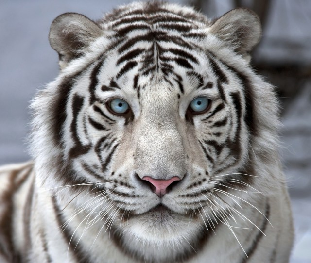 This Jpeg Image Beautiful White Tiger Wallpaper Is Available For Free Download  C2 B7 View Full Size
