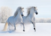 Beautiful White Horses Background