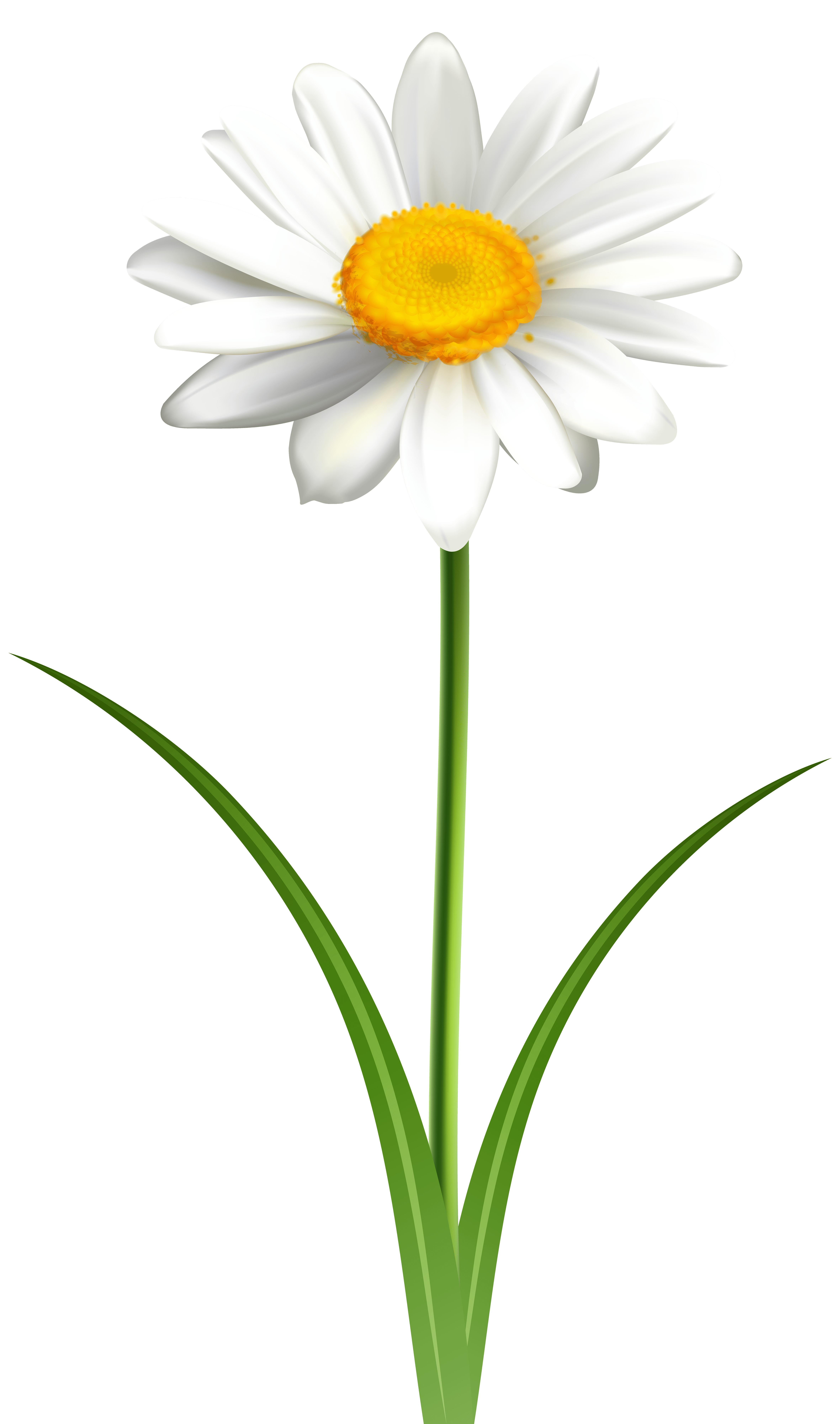 hight resolution of daisy flower transparent png clip art image