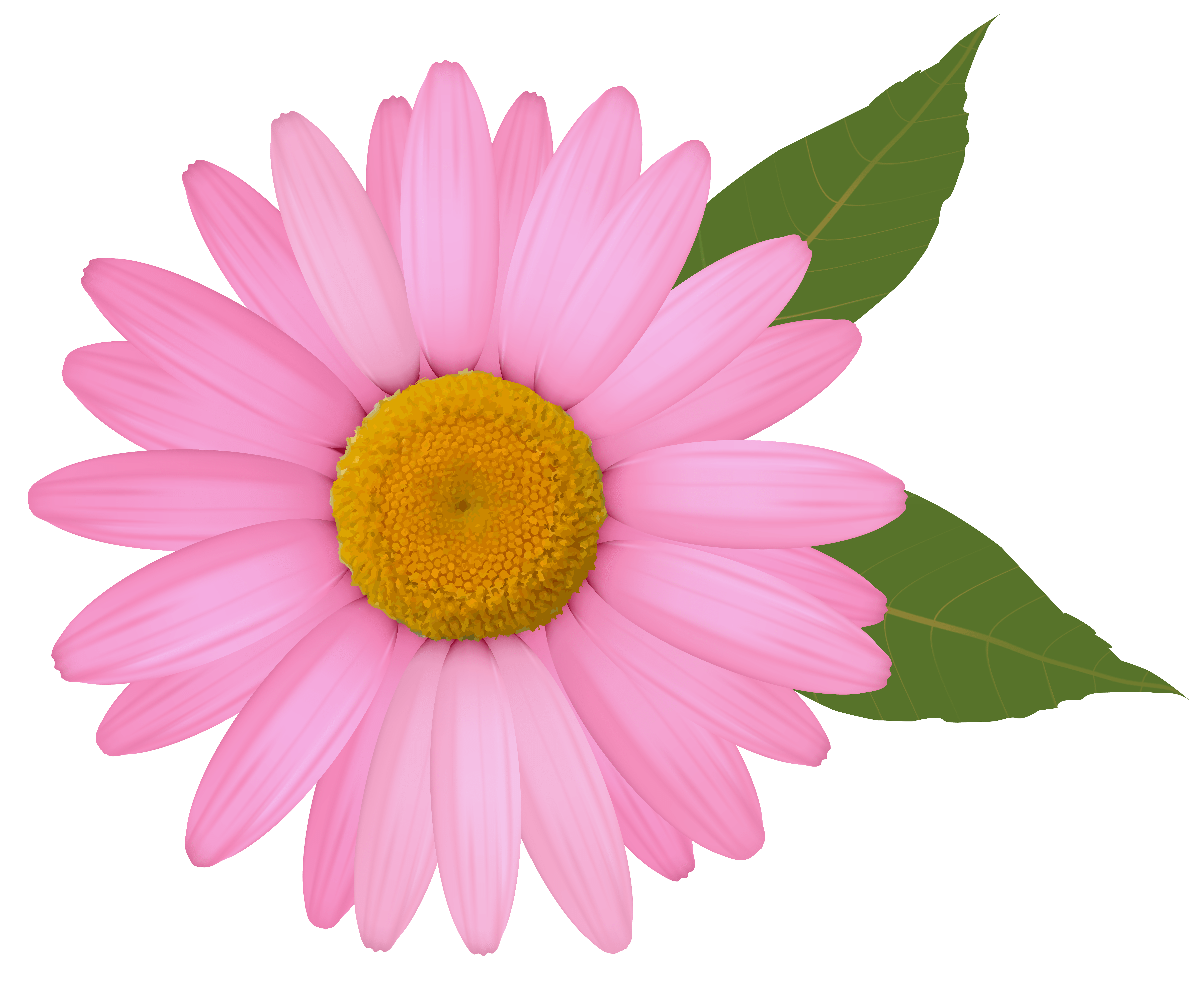 hight resolution of pink daisy png clipart image