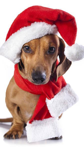 Fall Pug Wallpaper Christmas Dog Iphone 6s Plus Wallpaper Gallery