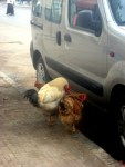 Why do 3 chickens wait for a taxi