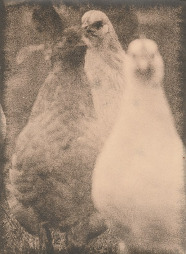 """""""Hens"""" © Sarah Lycksten. Approx. 7x9"""" handcrafted alternative process photograph (silver emulsion lith print). Signed original print offered by GALLERY5X7 at $250."""
