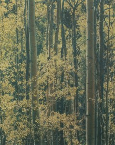 """""""Aspens Near Santa Fe New Mexico"""" © Tom Wise. Aspens in Aspen Glen near Santa Fe New Mexico. Approx. 6x7.5"""" (15.2x19.1cm) handcrafted alternative process photograph (gum bichromate over palladium-toned kallitype). GALLERY5X7 offers this signed, editioned original print at $250."""