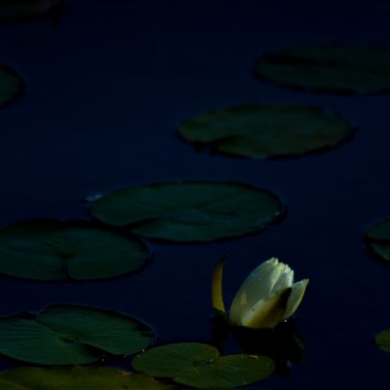 water-lilies-and-bloom