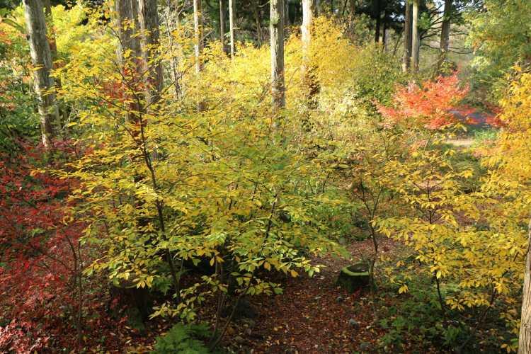 木り香紅葉