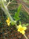 Bunga Semangka