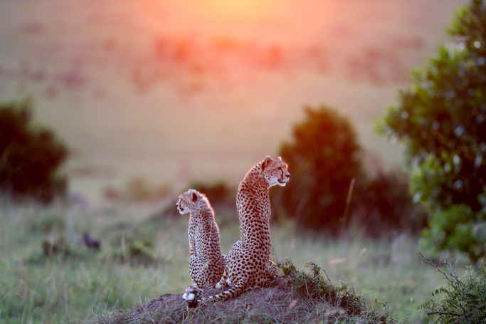 Cheetah and her cub l