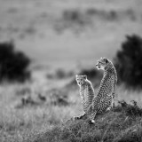 Cheetah and her cub ll