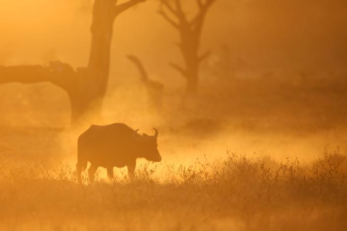 giraffe and sunrise