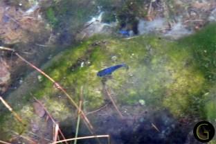 Ash-Meadows-Blue-Pup-Fish-2