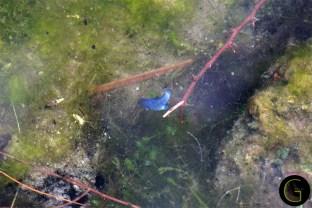 Ash-Meadows-Blue-Pup-Fish-3