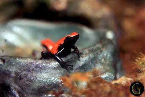 Frog-orange-1
