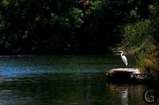 Grate-White-Egret-1