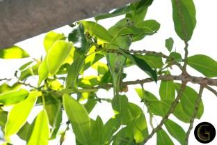 Green-Parakeet-1