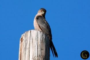 Hawk Copper Head (1)