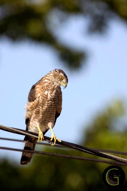 Hawk Copper Head (2)