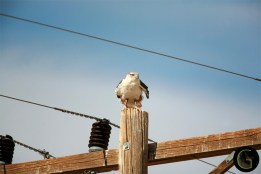 Hawk-Ferruguinous-2