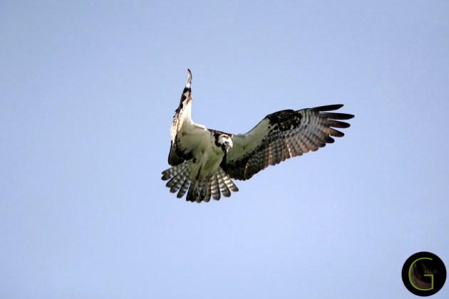 Hawk Osprey-5 (4)