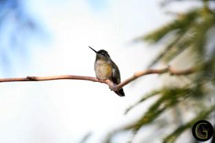 Humming-Bird-17