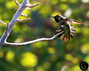 Humming-Bird-4