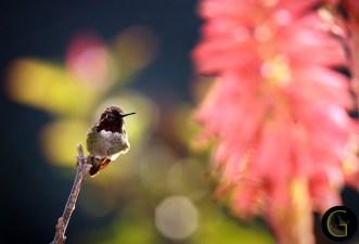 Humming-Bird-7