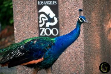 peacock-8
