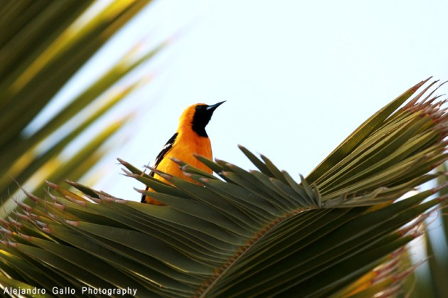 Hooded-Oriole-02