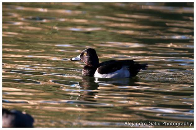 Ring-Necked-Duck-02